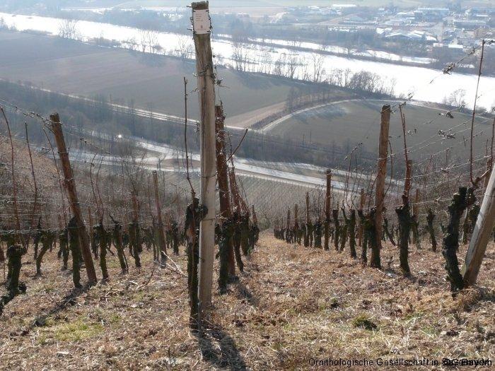 Blick vom Benediktusberg über das Maintal und Zellingen: Zippammer-Lebensraum bei Retzbach in kleinstrukturierten Weinbau-Hängen