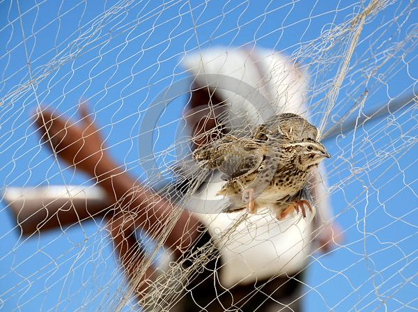 Wachtel (Coturnix coturnix) im Fangnetz, Mittelmeerküste Ägyptens, Foto: Jens-Uwe Heins