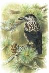 Tannenhäher (Nucifraga caryocatactes) pinx. Pascalis Dougalis