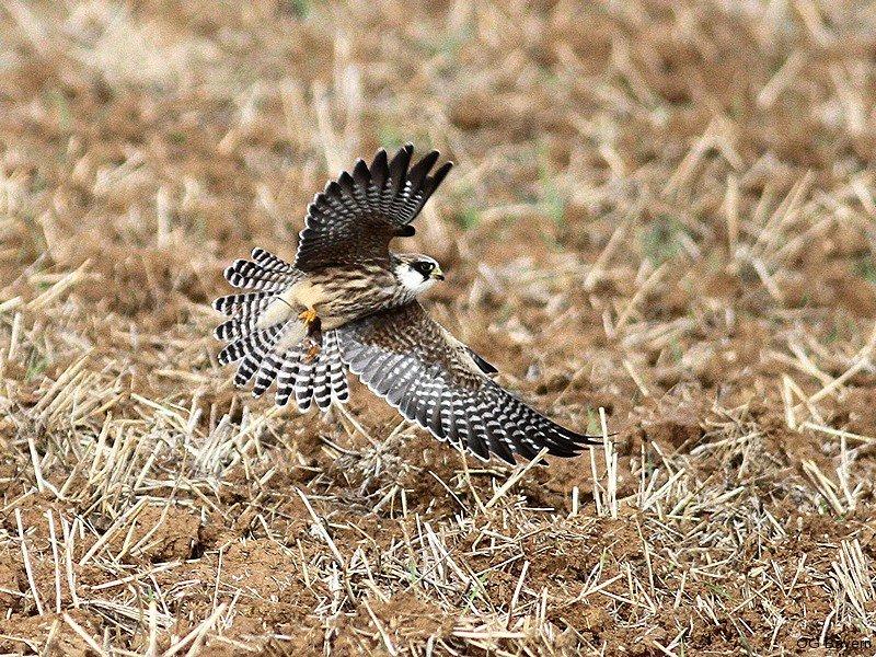 Rotfußfalke (Falco vespertinus) Jugendkleid;  Schernau