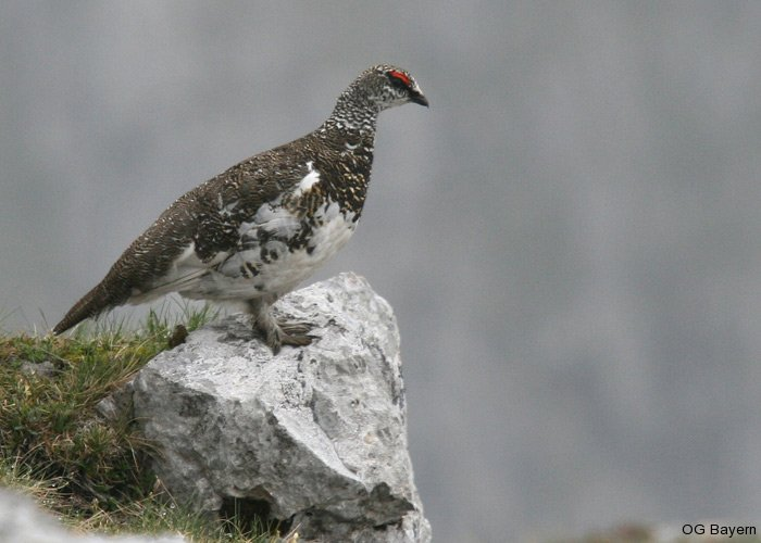 Alpenschneehahn (Lagopus muta), Sommerkleid