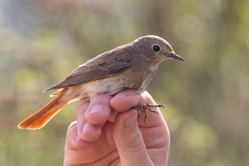 Vogelberingung. Hier: Hausrotschwanz (Phoenicurus ochruros)  Foto: S. Rösner