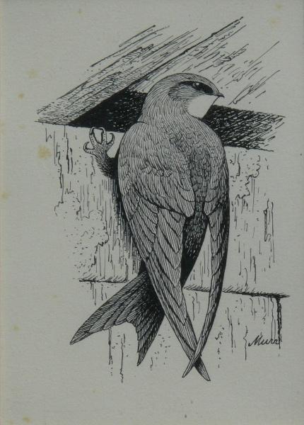 Mauersegler Tuschezeichnung von Franz Murr