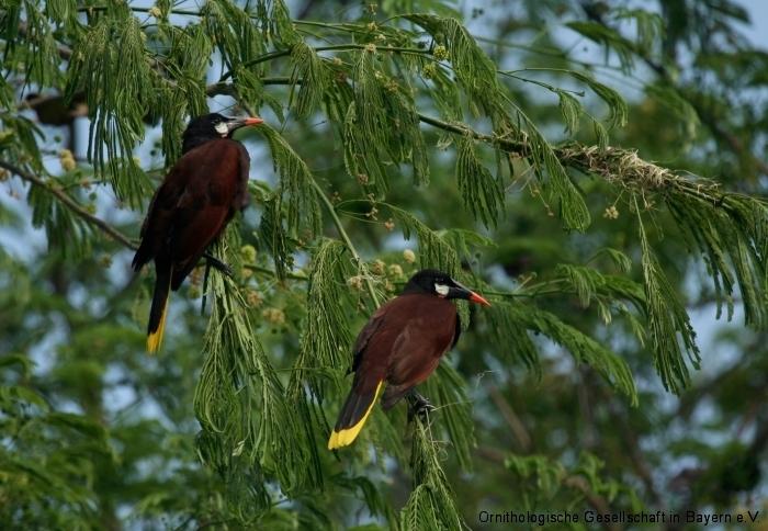 Montezuma-Stirnvogel (Psarocolius montezuma)
