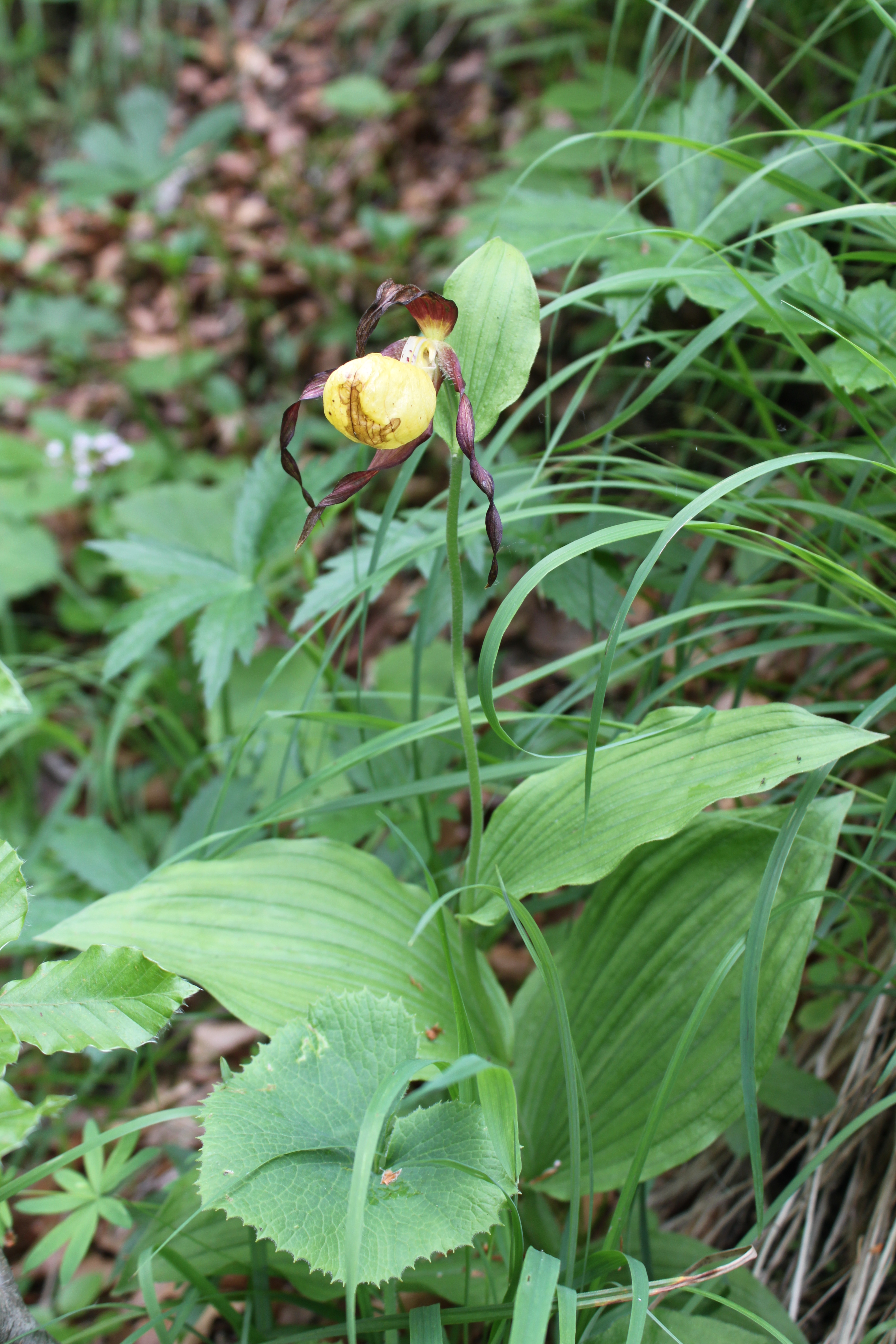 Frauenschuh (Cypripedium calceolus), Foto: Margarete Siering