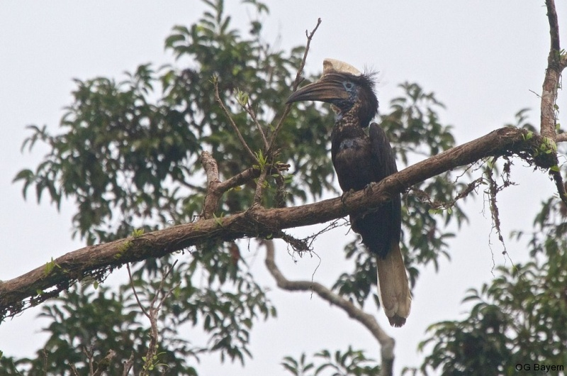 Goldhelm-Hornvogel (Ceratogymna elata)