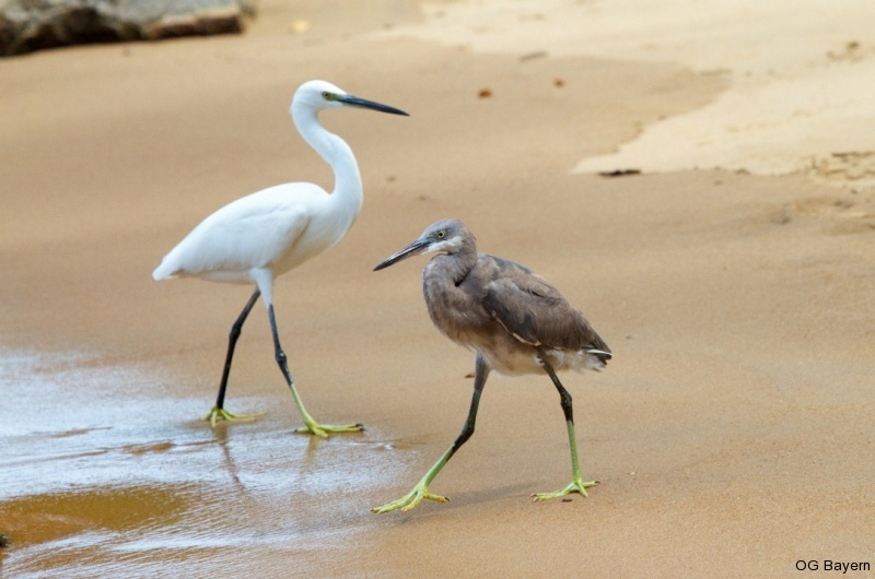 Küstenreiher (Egretta gularis) beide Morphen
