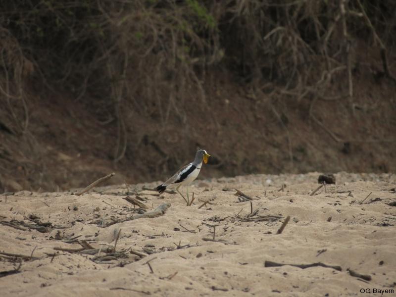 Weißscheitelkiebitz  (Vanellus albiceps)