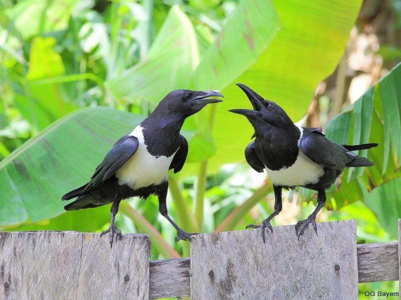 Schildraben (Corvus albus)