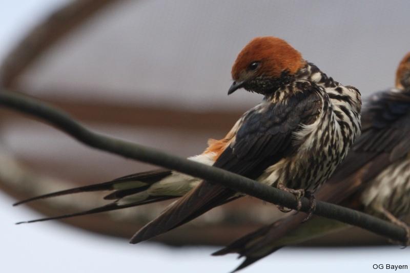 Maidschwalbe (Hirundo abyssinica)