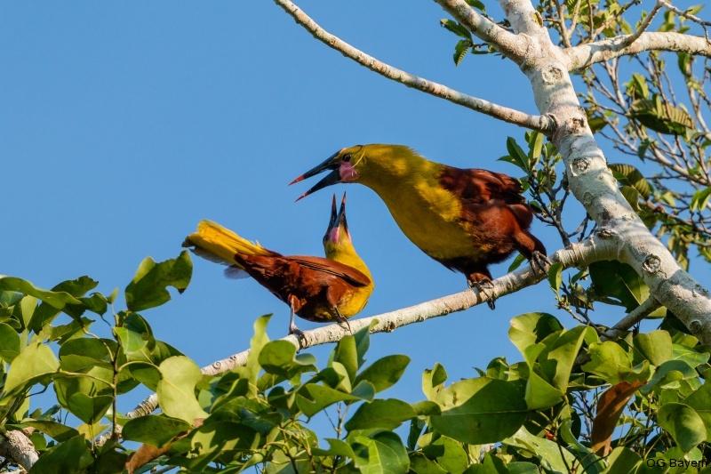 Olivkopf-Stirnvogel (Psarocolius bifasciatus)