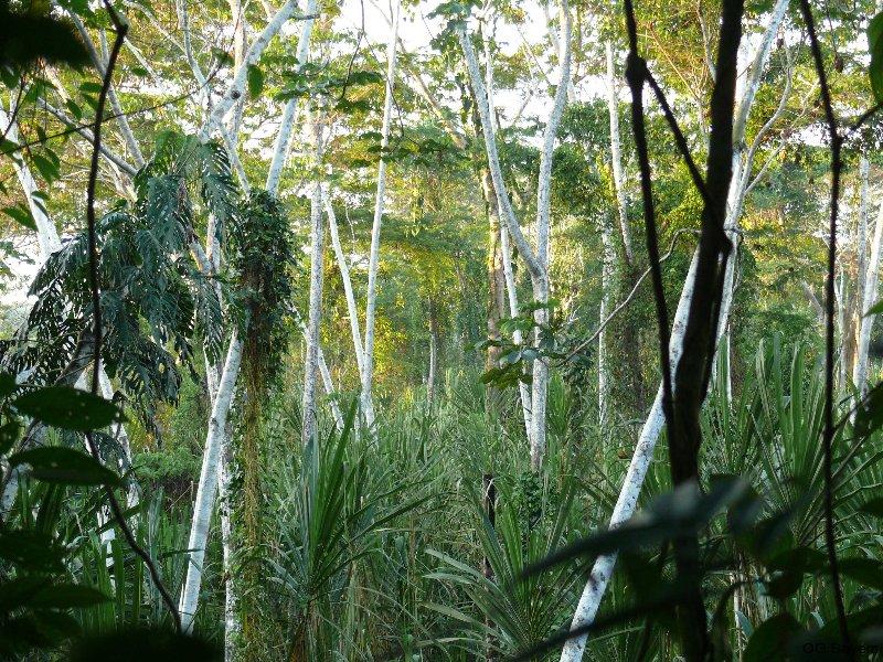Undurchdringlicher Auwald am Yuyapichis mit Ameisenbaum (Cecropia peltata) und Riesenschilf
