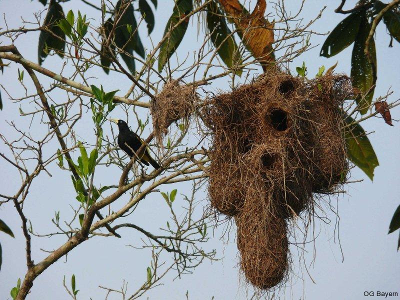 Brutkolonie von Gelbbürzelkassiken (Cacicus cela), wie meist dicht neben einem Nest angriffslustiger Wespen angelegt