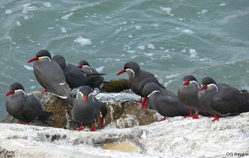 Inkaseeschwalben (Larosterna inca) Hafenmole von Callao/Perú