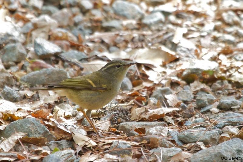 Goldbinden-Laubsänger (Phylloscopus pulcher)