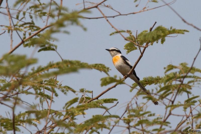 Weissbauch-Mennigvogel (Pericrocotus albifrons)