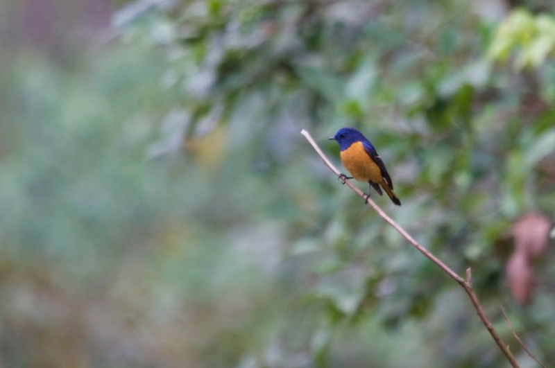 Himalajarotschwanz (Adelura frontalis), männl., Foto: Mark Piazzi