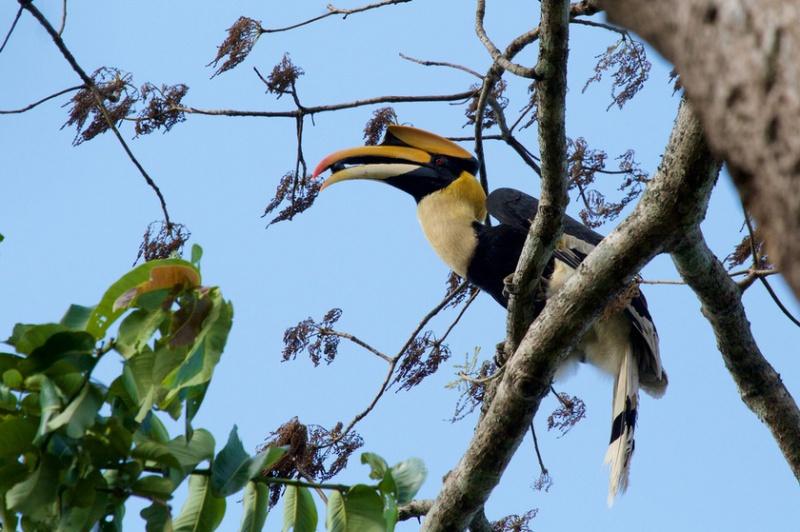 Doppelhornvogel (Buceros bicornis), männl, Foto: Mark Piazzi