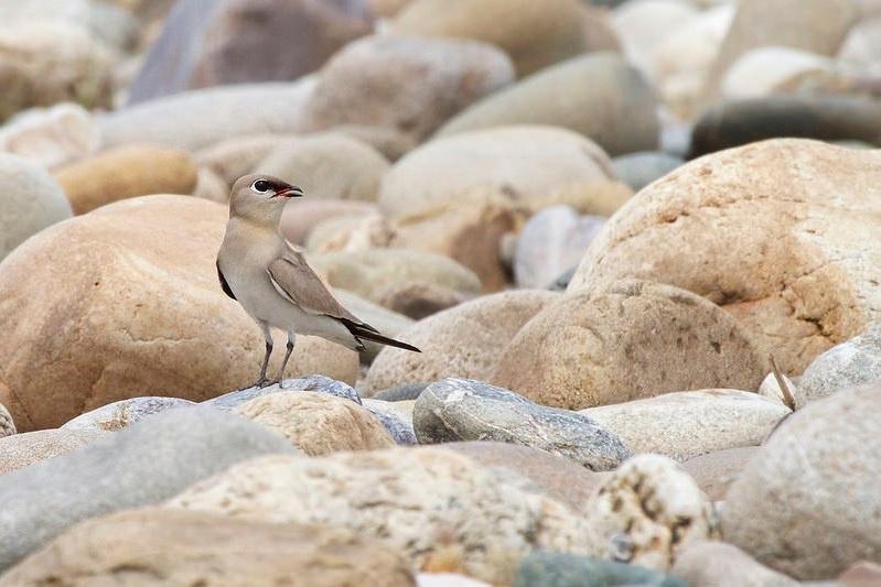 Sandbrachschwalbe (Glareola lactea), Foto: Mark Piazzi