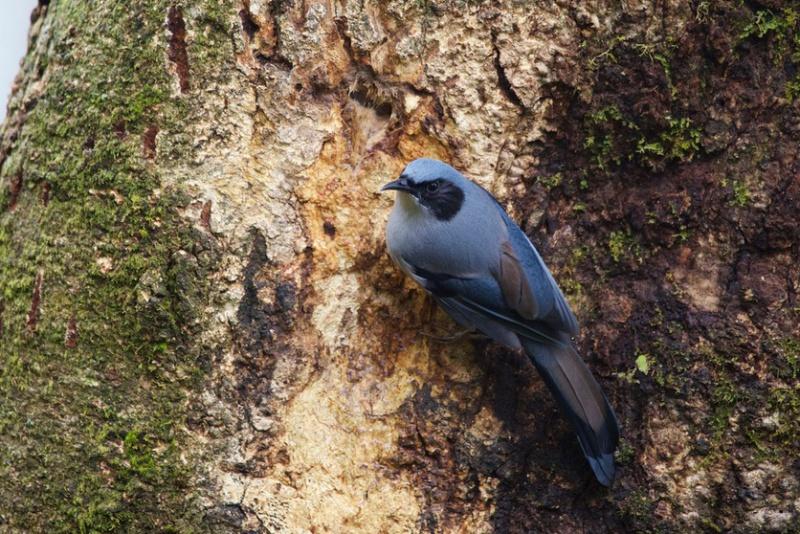 Blaukopftimalie (Heterophasia pulchella), Foto: Mark Piazzi