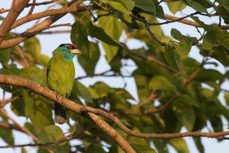 Blauwangen-Bartvogel (Psilopogon a. asiaticus), Foto: Mark Piazzi