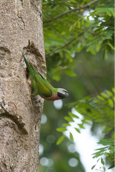 Bartsittich (Psittacula alexandri fasciata), männl., Foto: Mark Piazzi