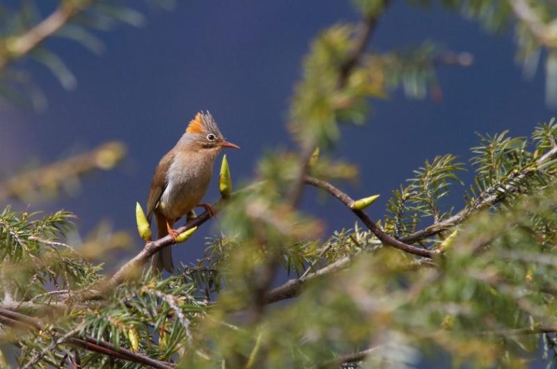 Rotsteißyuhina (Yuhina o. occipitalis), Foto: Mark Piazzi