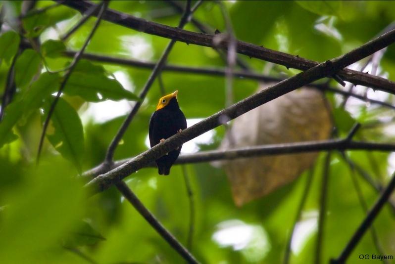 Gelbkopfpipra (Pipra e. erythrocephala), männl.