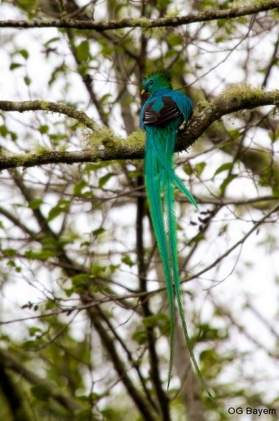 Quetzal (Pharomachrus mocinno costaricensis), männl.