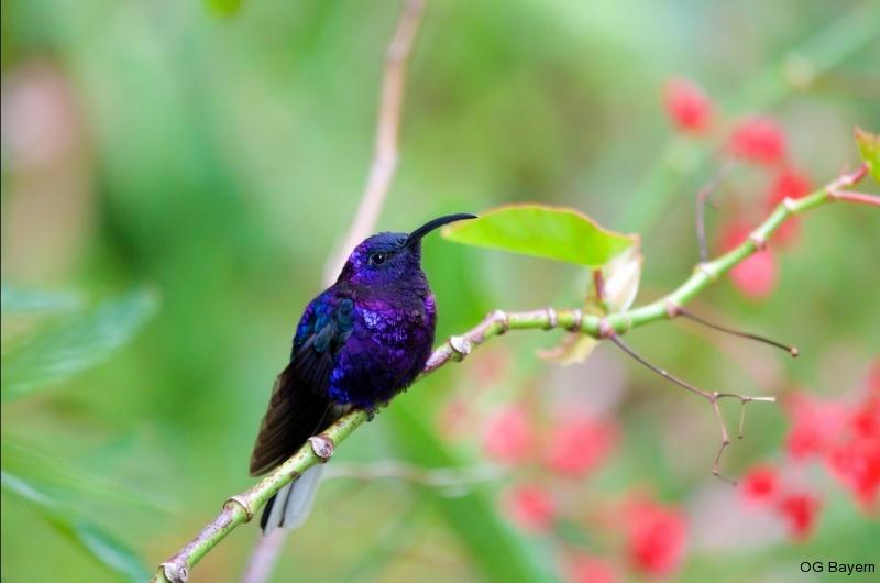 Violettdegenflügel (Campylopterus hemileucurus mellitus), männl.