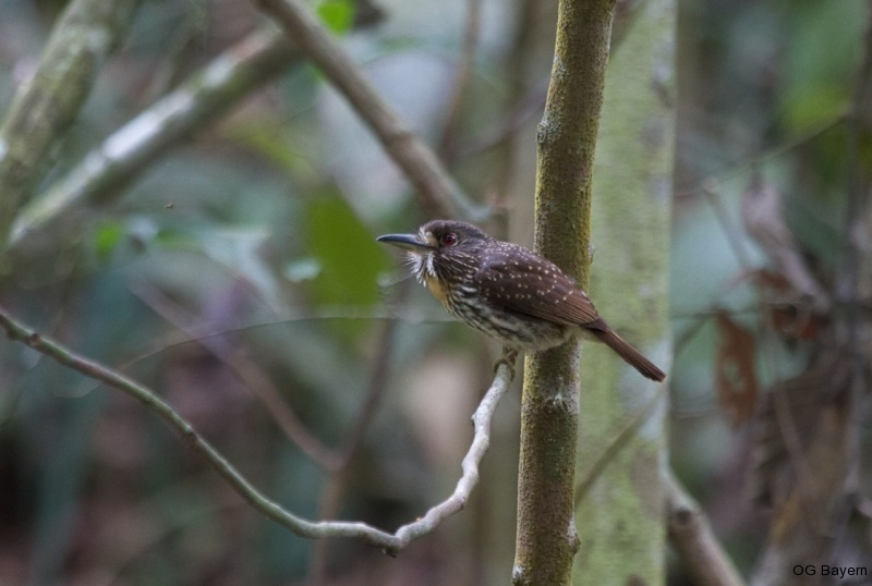 Weißzügel-Faulvogel (Malacoptila p. panamensis), weibl.