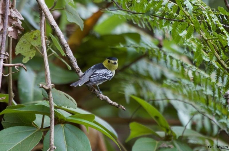 Wellenbekarde (Pachyramphus versicolor costaricensis), männl.