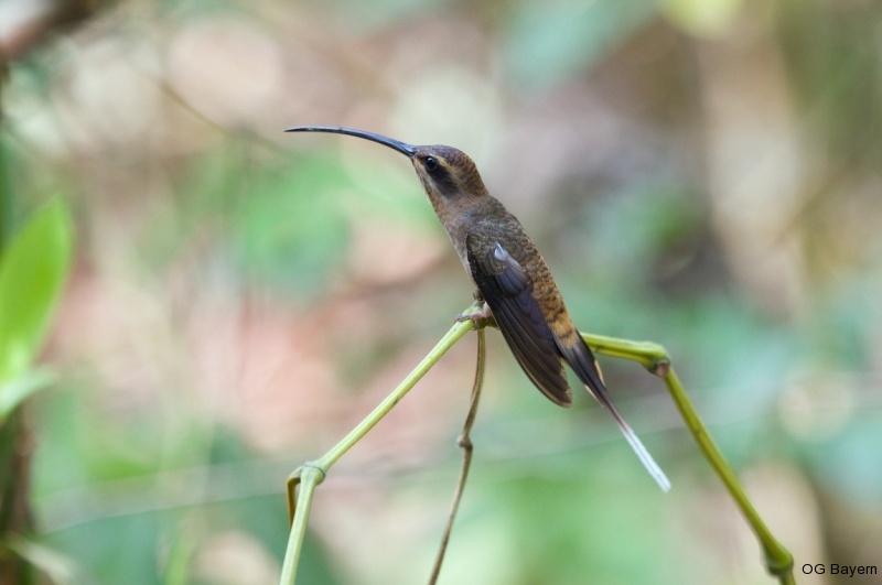 Westlicher Langschwanz-Schattenkolibri (Phaethornis longirostris cephalus)