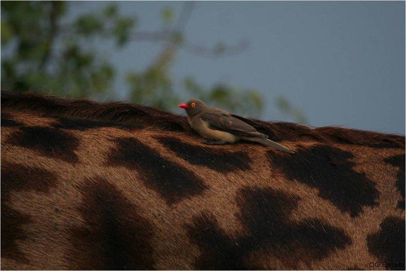 Rotschnabelmadenhacker (Buphagus erythrorhynchus)