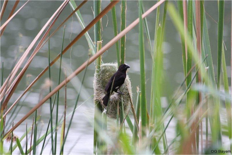 Weissstirnweber (Amblyospiza albifrons)