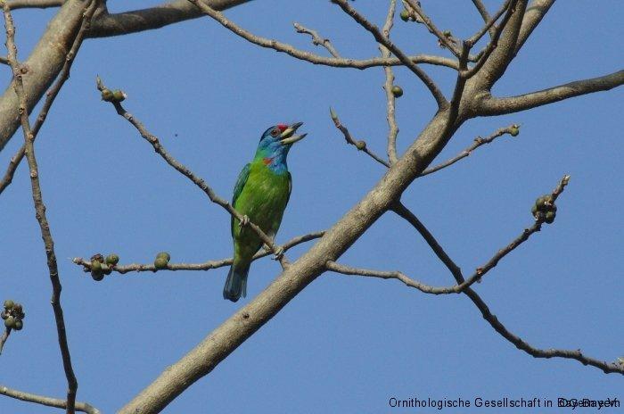 Blauwangen-Bartvogel (Megalaima asiatica) Corbett NP