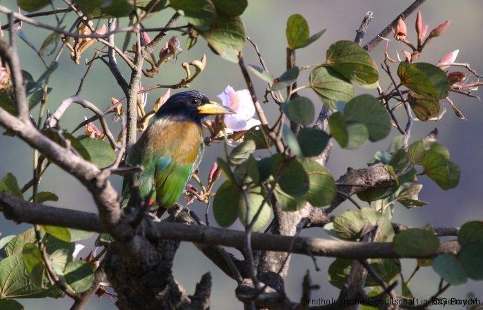 Heulbartvogel (Megalaima virens marshallorum) in Pangot