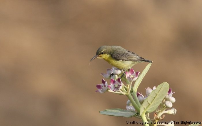 Purpurnektarvogel (Cinnyris asiaticus) an Oscherstrauch (Calotropis procera)