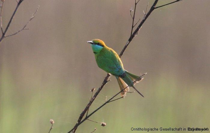Smaragdspint (Merops orientalis) Corbett NP