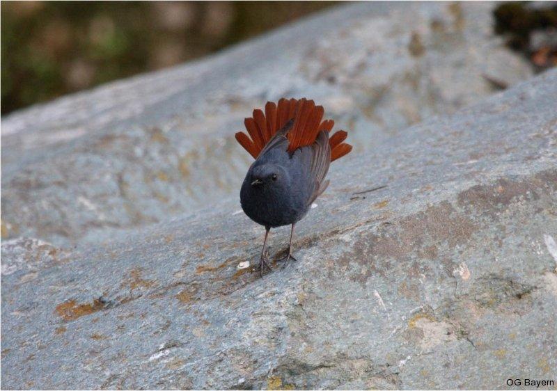 Wasserrotschwanz (Rhyacornis f. fuliginosa), männl.