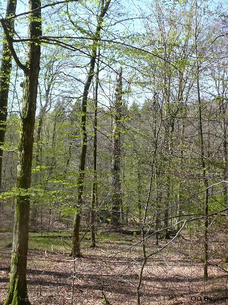 In den Buchenwäldern des Steigerwaldes sangen Trauerschnäpper und unzählige Waldlaubsänger. Foto: Robert Pfeifer