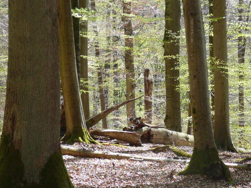 """Totholzreicher Buchenurwald im Naturwaldreservat """"Waldhaus"""". Lebensraum von Halsbandschnäpper und Mittelspecht. Foto: Robert Pfeifer"""