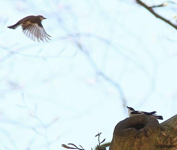Das singende Halsbandschnäpper-Männchen lockt ein Weibchen an eine mögliche Bruthöhle. Foto: Ariane Schade
