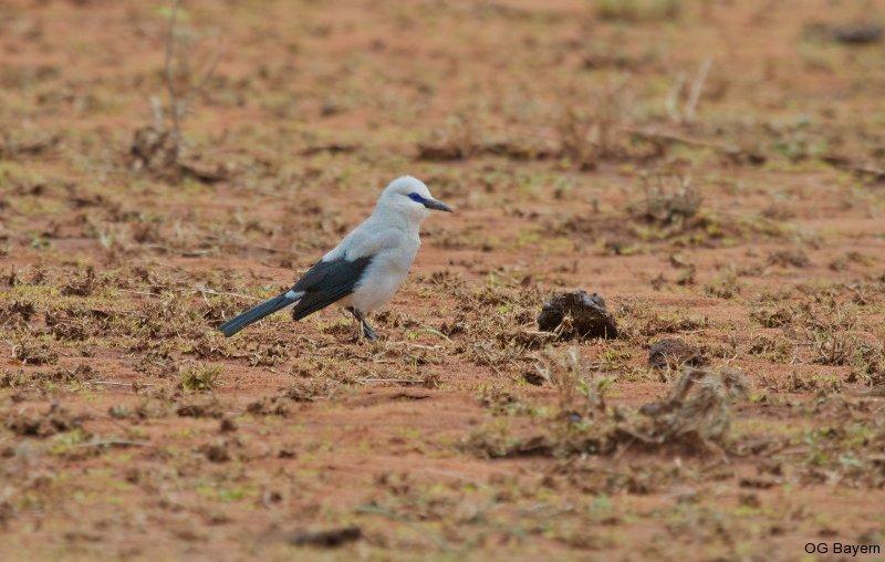 Akazienhäher (Zavattariornis stresemanni) Yabello