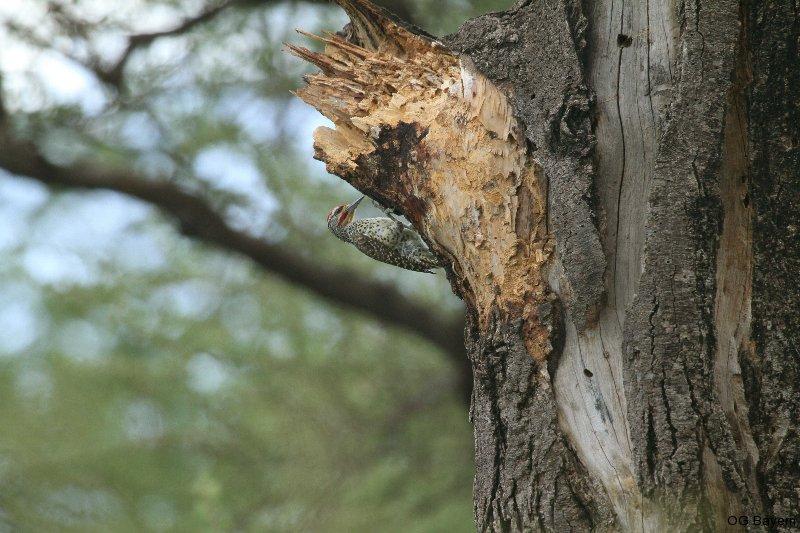 Nubierspecht (Campethera nubica), männl.