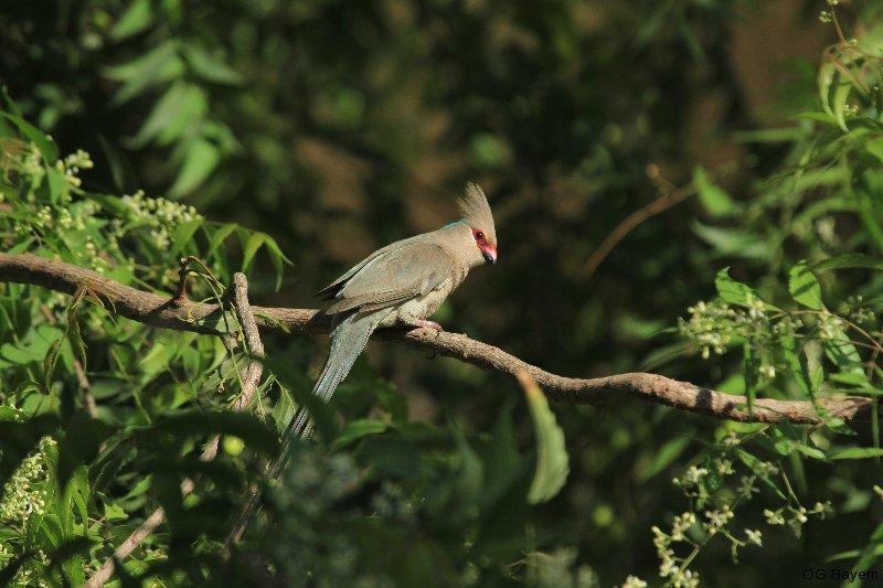 Blaunacken-Mausvogel (Urocolius macrourus)