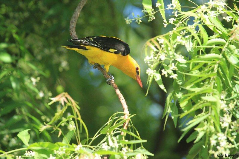 Pirol (Oriolus oriolus) männl.