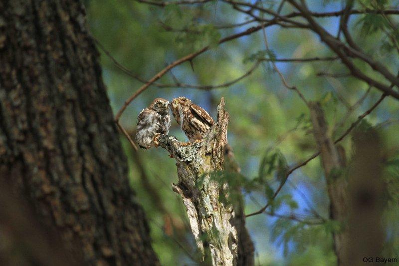 Perlkauz (Glaucidium perlatum) füttert Jungvogel mit Skink