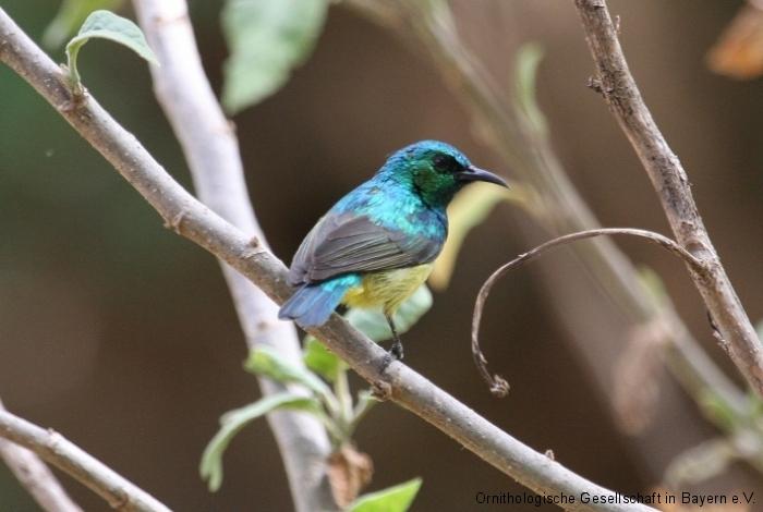 Waldnektarvogel (Hedydipna collaris), männl.