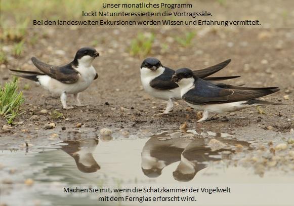 Mehlschwalbe (Delichon urbicum), Foto: T. Grüner